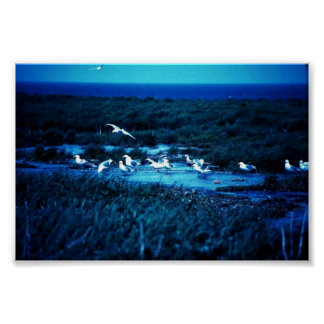 Glacous Winged Gulls Print