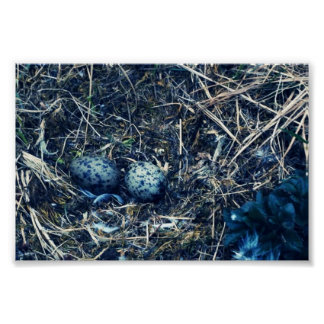 Glacous Winged Gulls Poster