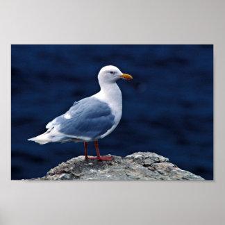 Glaucous Gull Print