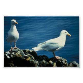 Glaucous Gulls Posters