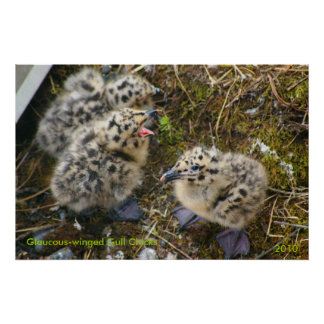 Glaucous-winged Gull Chicks Print
