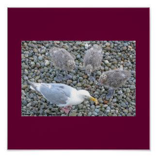 Glaucous-winged Gull Family Print