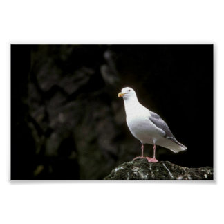 Glaucous-winged Gull Posters