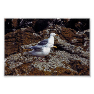 Glaucous-winged Gulls Poster