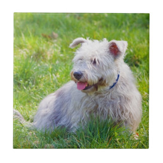 Glen of Imaal terrier dog beautiful tile or trivet