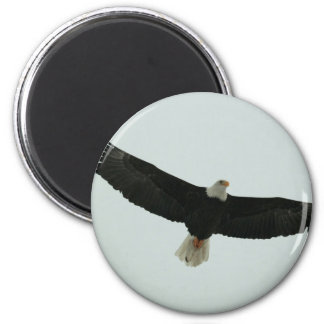 Gliding bald eagle magnet