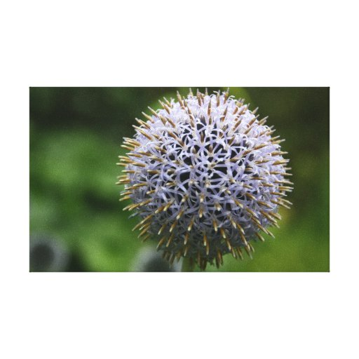 Globe Thistle Canvas Gallery Wrap Canvas