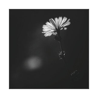 Glowing Black and White Minimalist Chicory Flower Canvas Prints