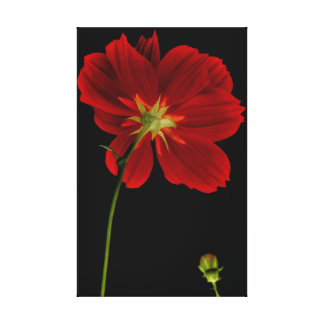 Glowing in Darkness/Red Gerbera Photography Stretched Canvas Prints