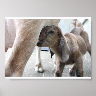 Goat Baby Animal Poster Nursing Feeding