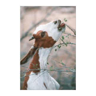 Goat (Capra Aegagrus Hircus) Browsing On Tree Gallery Wrapped Canvas