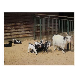 Goat family postcard