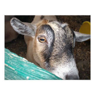 Goat Peeking Over Fence With One Eye Photo Art