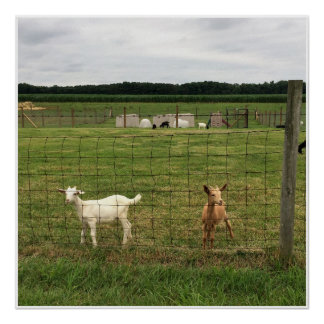 Goats on a Farm Poster