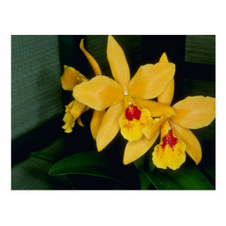 Gold Digger (Laeliocattelaya) flowers Post Cards