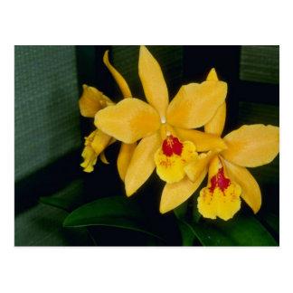 Gold Digger (Laeliocattelaya) flowers Postcard