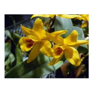 Gold Digger (Laeliocattleya) flowers Postcard