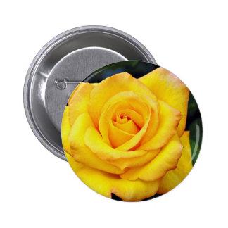 Gold medal Grandiflora Rose Aroyqueli White flo Button