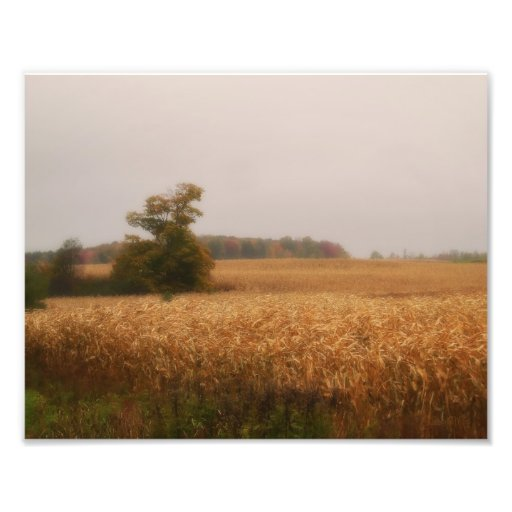 Golden Corn Field in Autumn by Shawna Mac Photo Art