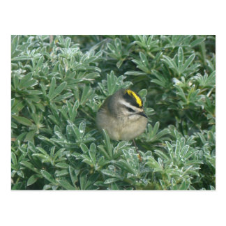 Golden-crowned Kinglet 1 Postcard
