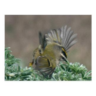 Golden-crowned Kinglet postcard