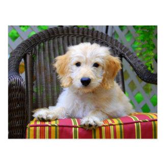 Golden Doodle Puppy Postcard