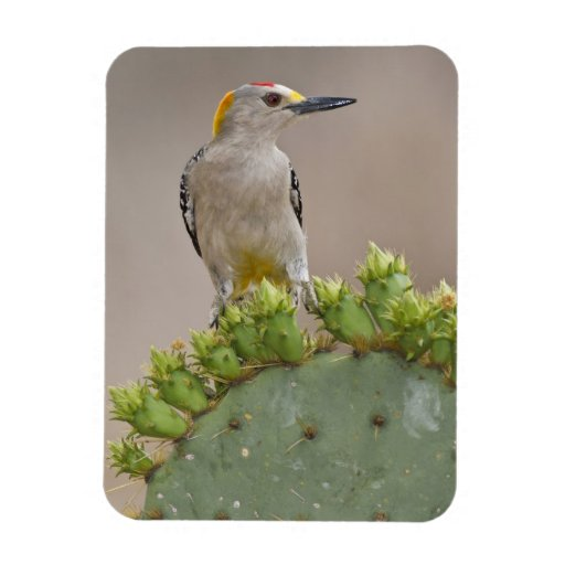 Golden-fronted Woodpecker adult male perched Rectangular Magnet