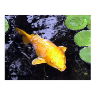 Golden Koi Fish Photo Postcard