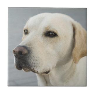Golden Labrador Retriever Photograph Ceramic Tile
