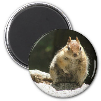 Golden mantled ground squirrel magnet