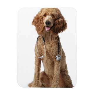 Golden Poodle Dog wearing a stethoscope Magnet