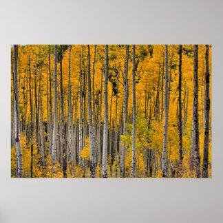 Golden Quakies, Colorado Poster