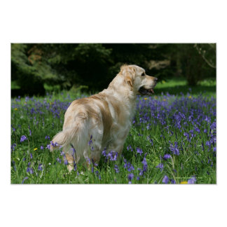 Golden Retreiver in Flowers Poster
