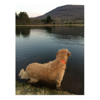Golden Retriever on a Rock at the Lake Postcard
