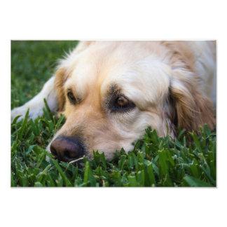 Golden Retriever on grass Photo