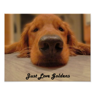 Golden Retriever Poster, Nose Poster