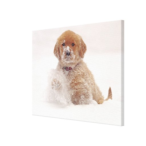 Golden Retriever Pup in Snow Stretched Canvas Print