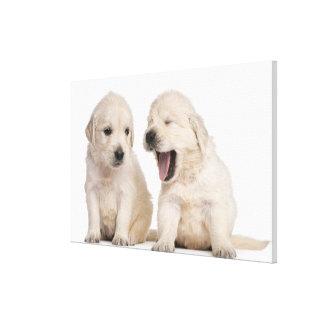 Golden Retriever puppies (4 weeks old) Canvas Print
