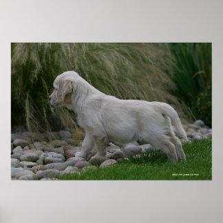 Golden Retriever Puppy Standing Poster