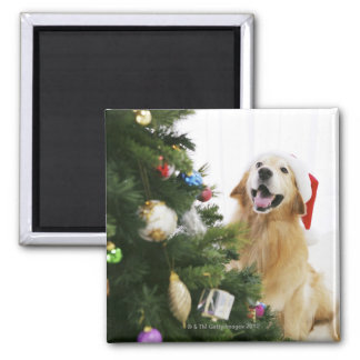 Golden retriever which watches Christmas tree Square Magnet