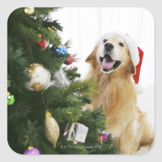 Golden retriever which watches Christmas tree Square Sticker