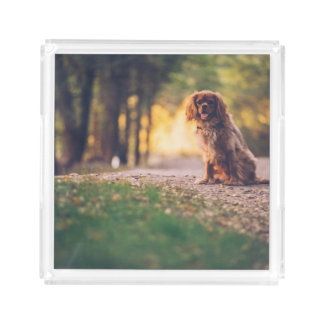 Golden Spaniel dog panting in the sun on path Acrylic Tray