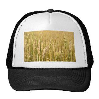 Golden Straws Of Wheat In A Field Cap