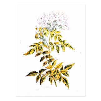 Golden Variegated Jasmine Postcard