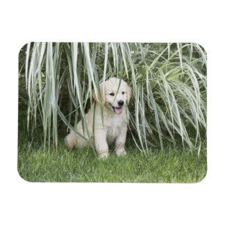 Goldendoodle puppy sitting under tall grasses magnet