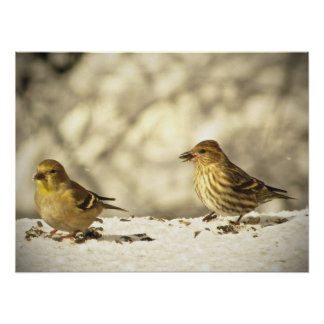 Goldfinch and Pine Siskin Posters
