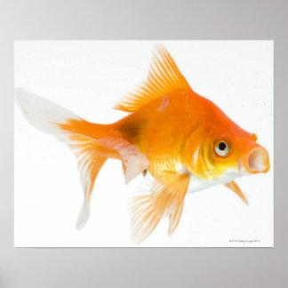 Goldfish on white background poster