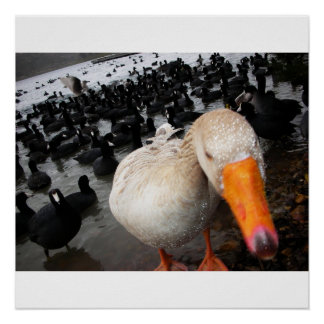 Goose and Coots Poster