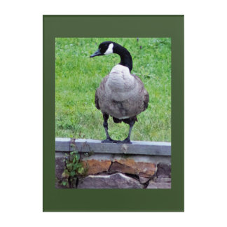 Goose on a Wall Photo Acrylic Print