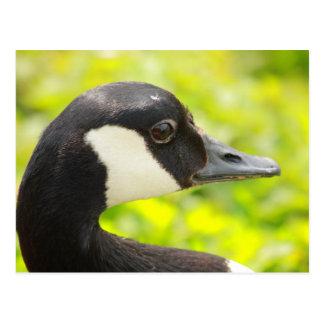 goose portrait postcard